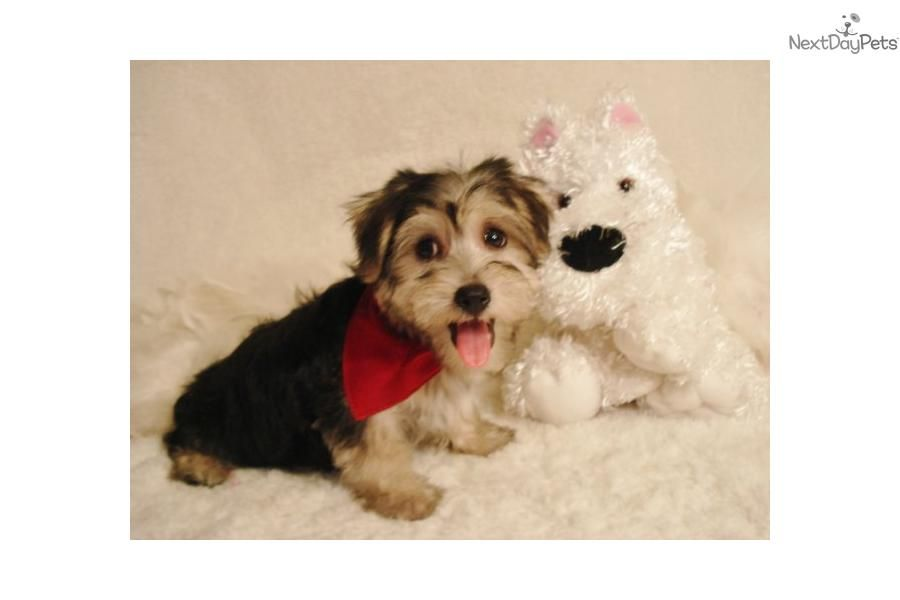 Meet Sunny Morkie Dogs Cute Dogs Morkie Puppies For Sale