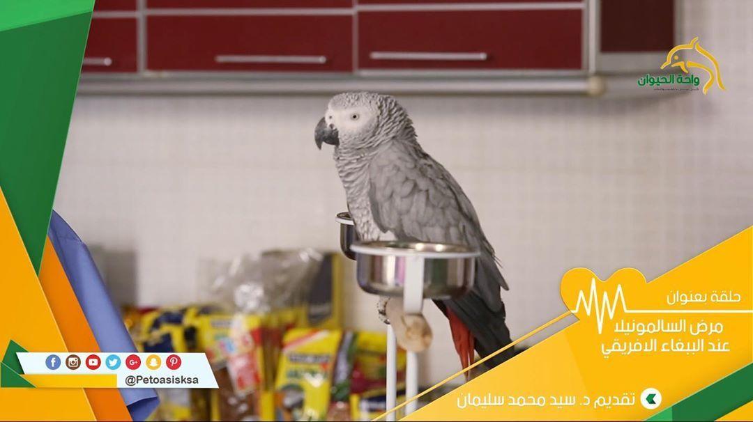 مرض السالمونيلا الذي يصيب الببغاء الإفريقي Parrot Cats