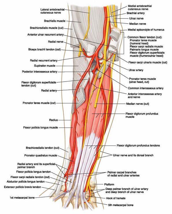 Ovid: Lippincott Williams & Wilkins Atlas of Anatomy | MC ...