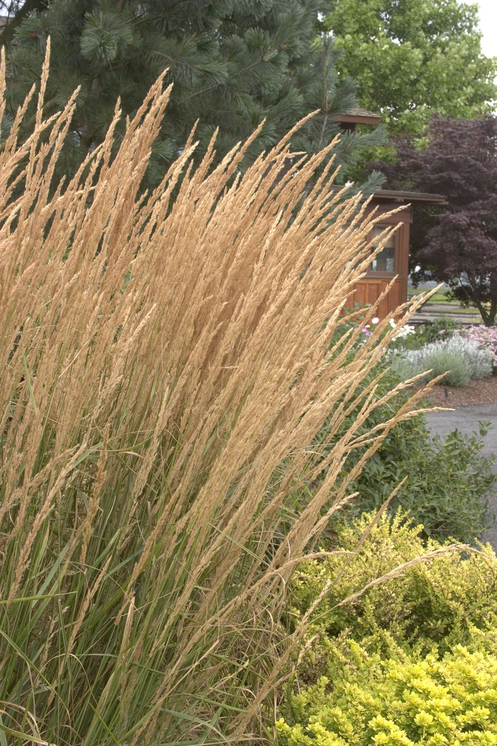 Low Growing Ornamental Grass Obsession falls golden grasses feather reed grass grasses and foersters feather reed grass is a low growing ornamental grass stars feathery flower spikes that emerge workwithnaturefo