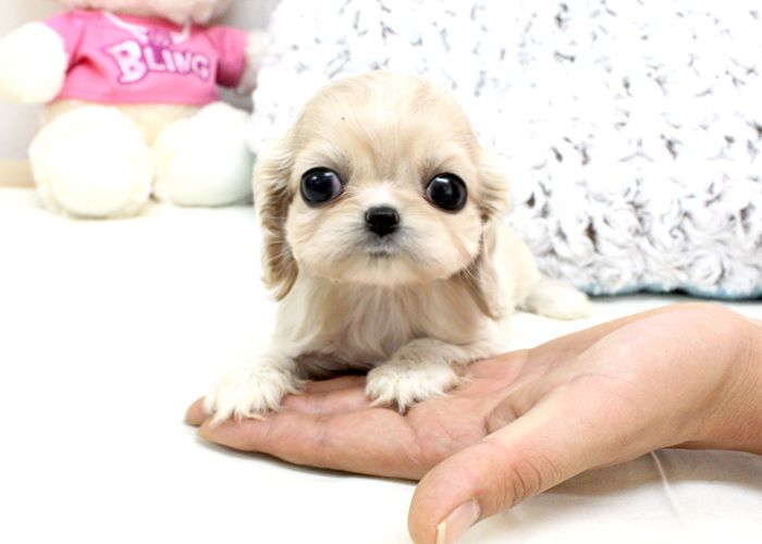 Is this thing real?! Mini Cocker Spaniel Tiny Teacups