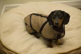 Dachshund coat. Because he has to be fashionable when he needs to go outside for potty time :)