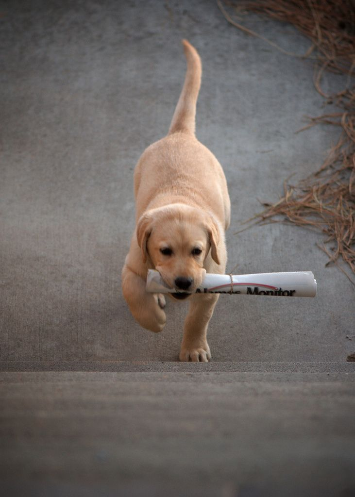 Puppy Run Newspaper Delivery Service Sees Hard Puppies Dogs