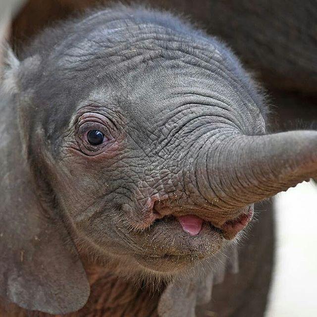 My lovely baby, ooh my heart. .. @iltasanomat -  Kärsä pystyyn! Neljä päivää sitten syntynyt norsuvauva ulkoili Hallen eläintarhassa Saksassa emonsa kanssa. Pienokainen painoi syntyessään yli yhdeksänkymmentä kiloa. Kuva: Hendrik Schmidt / EPA . #elephant #elephants #elephantlove