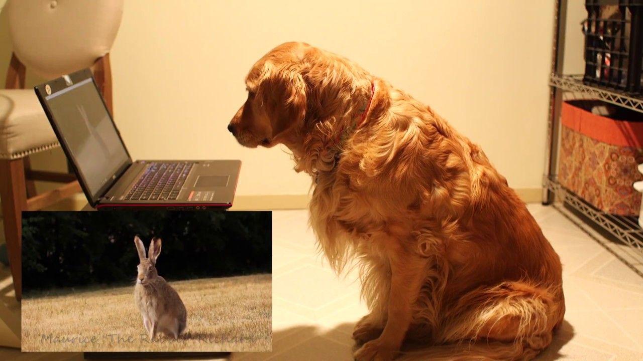 Golden Retriever Watching A Rabbit Video Goldens Pinterest