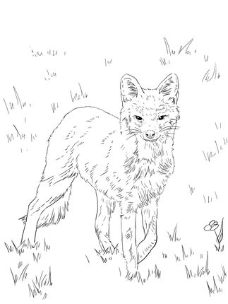 Click To See Printable Version Of North American Grey Fox Coloring