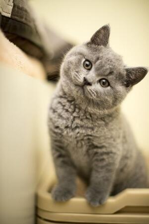 Gray Kitten Kittens Cutest Cute Cats Beautiful Cats