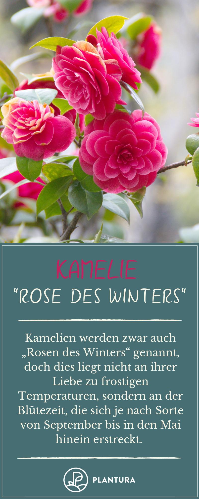Kamelien Werden Auch Die Rosen Des Winters Genannt Wie Viel Kalte Die Zarten Bluten Tatsachlich Uberstehen Konnen Und Winterharte Blumen Winterhart Pflanzen