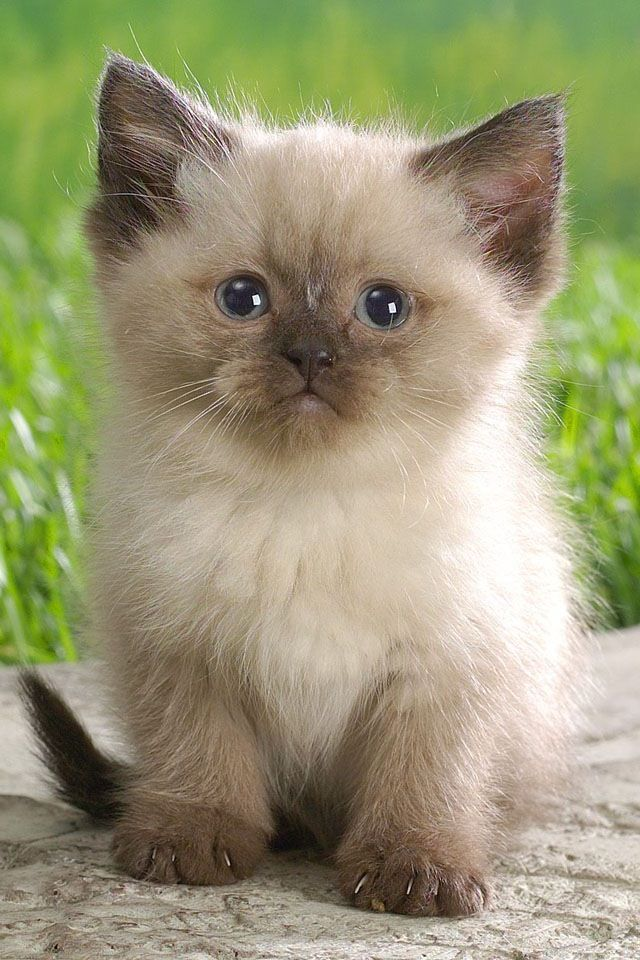 This Is The Baby I Want I Think It S A Blue Point Balinese