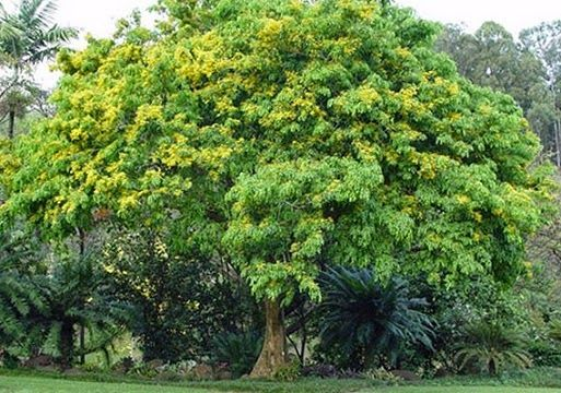 Image result for national tree of the philippines narra