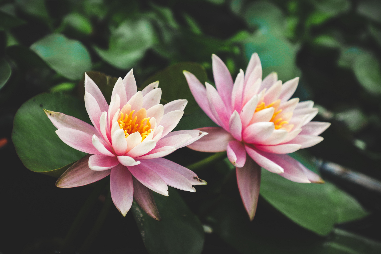 29 Gambar Bunga Teratai Yg Bagus Galeri Bunga Hd Blooming Lotus Water Lilies Flower Sleeve