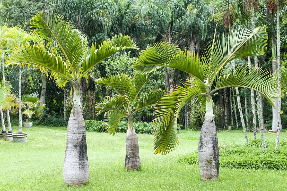 hyophorbe lagenicaulis bottle palm native to round island mauritius palms of the world. Black Bedroom Furniture Sets. Home Design Ideas