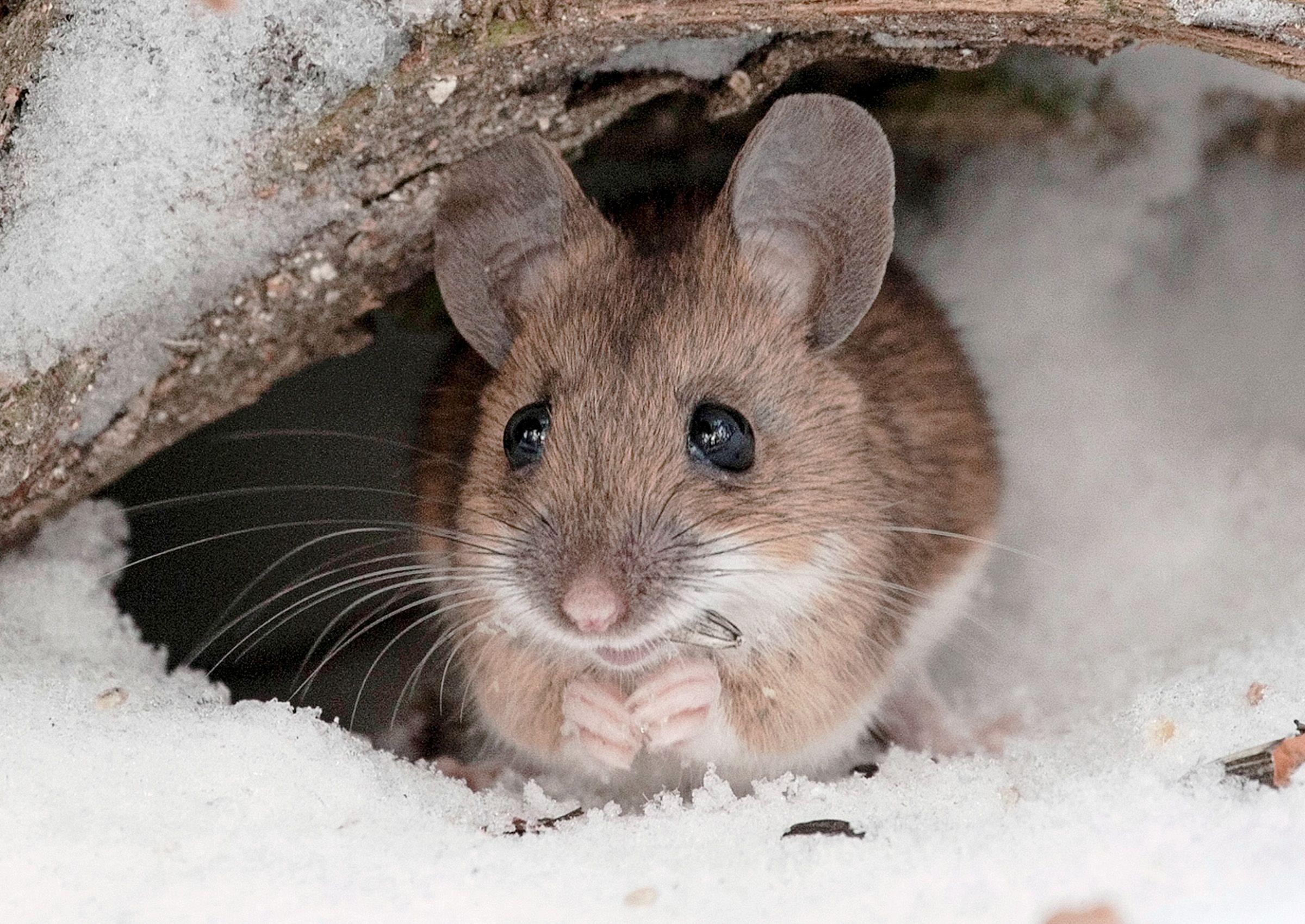 Myyrät, hiiret ja jyrsijät aiheuttavat vaurioita pihalla. Osa on harmittomia hyönteissyöjiä, osa tuhoaa puun kuoren tehokkaasti. Tutustu pihan jyrsijöihin.