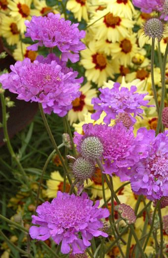 Scabiosa 'Vivid Violet' Pincushion Flower