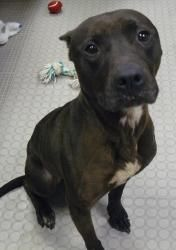 Pax is an adoptable Pit Bull Terrier Dog in Shrewsbury, PA. Pax is a great dog looking for the right home. He is very friendly and loves to play. He is very sweet and gives good kisses. All he needs i...