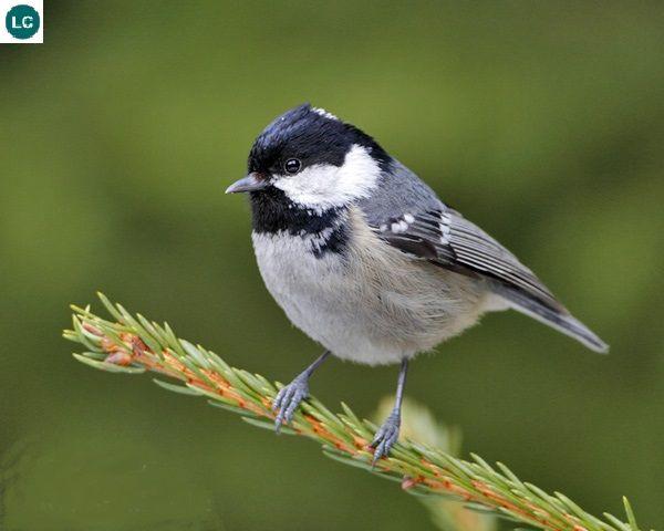 https://www.facebook.com/WonderBirdSpecies/ Coal tit (Periparus ater); Eurasia and northern Africa; IUCN Red List of Threatened Species 3.1 : Least Concern (LC)(Loài ít quan tâm) || Bạc má than/Sẻ ngô than; Á-Âu và Bắc Phi; Họ BẠC MÁ-PARIDAE (Tits, Chickadees, Titmice).