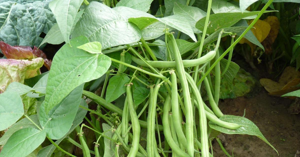 Ganz und zu Extrem Buschbohnen | Garten | Buschbohnen, Bohnen pflanzen und Gemüseanbau @GR_03