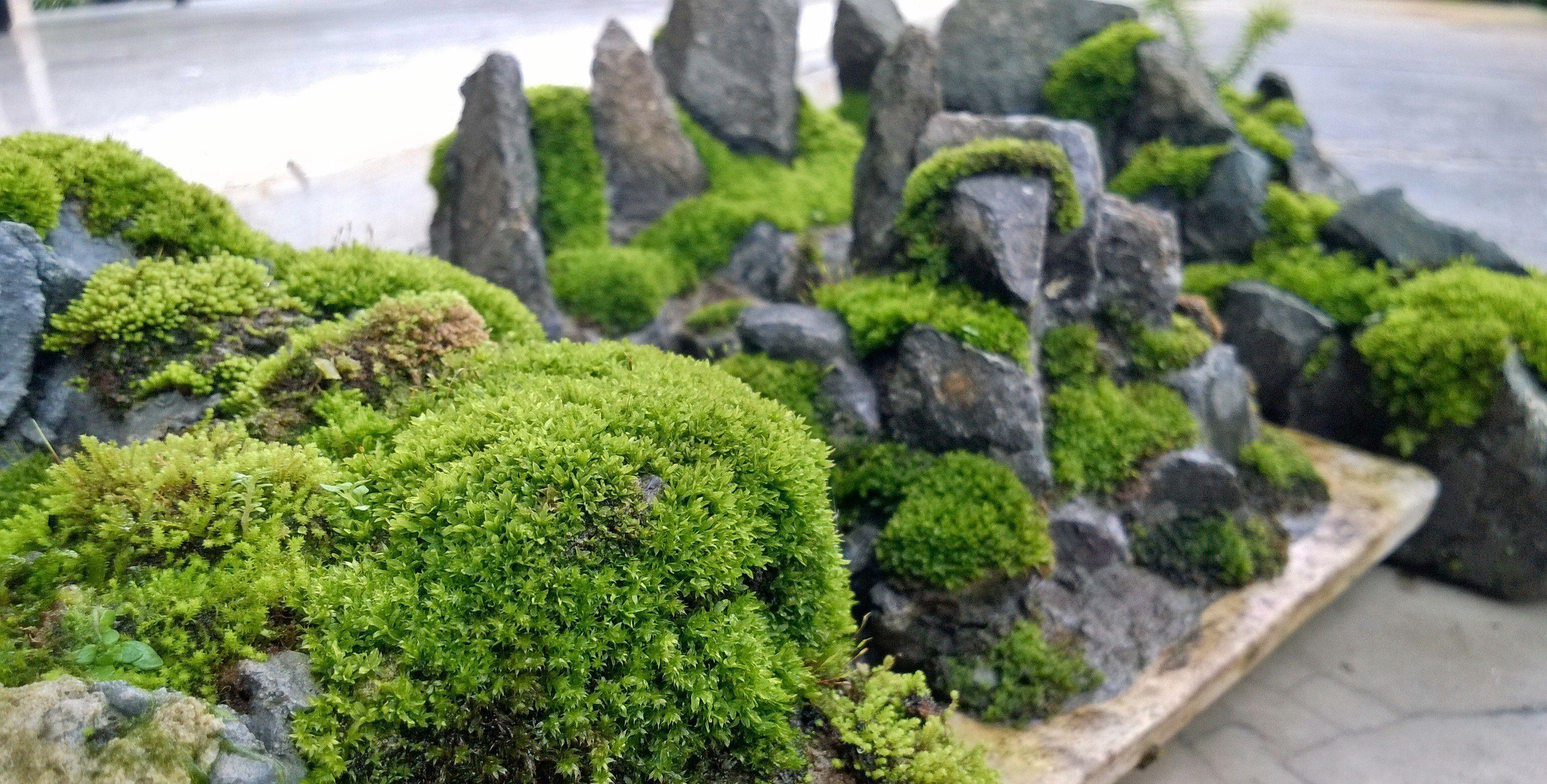 Moss Penjing For Your Penjing Bonsai Diy Bonsai Moss