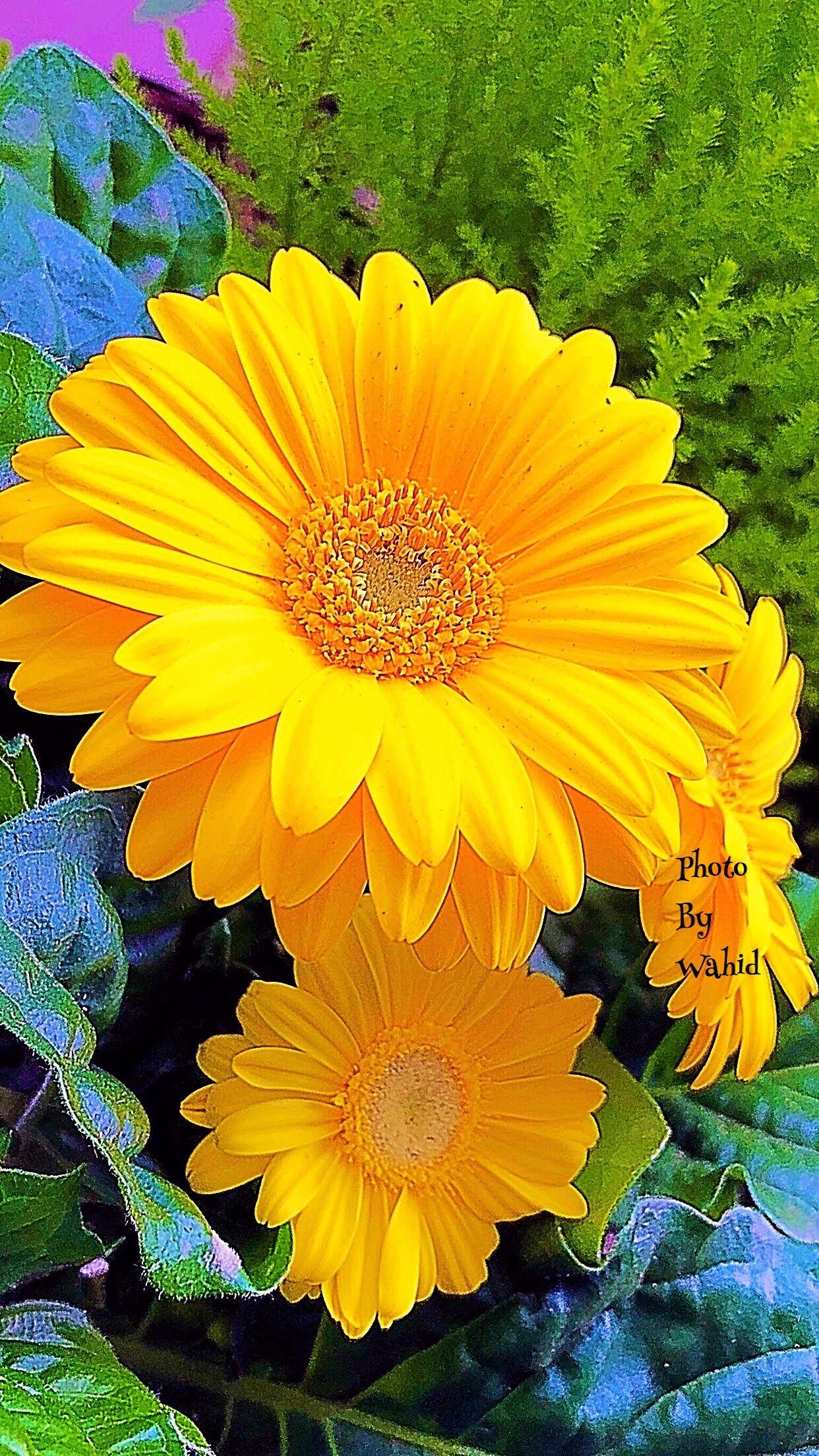 Que Maravilha De Margaridas Amarelas Gerbera Pinterest