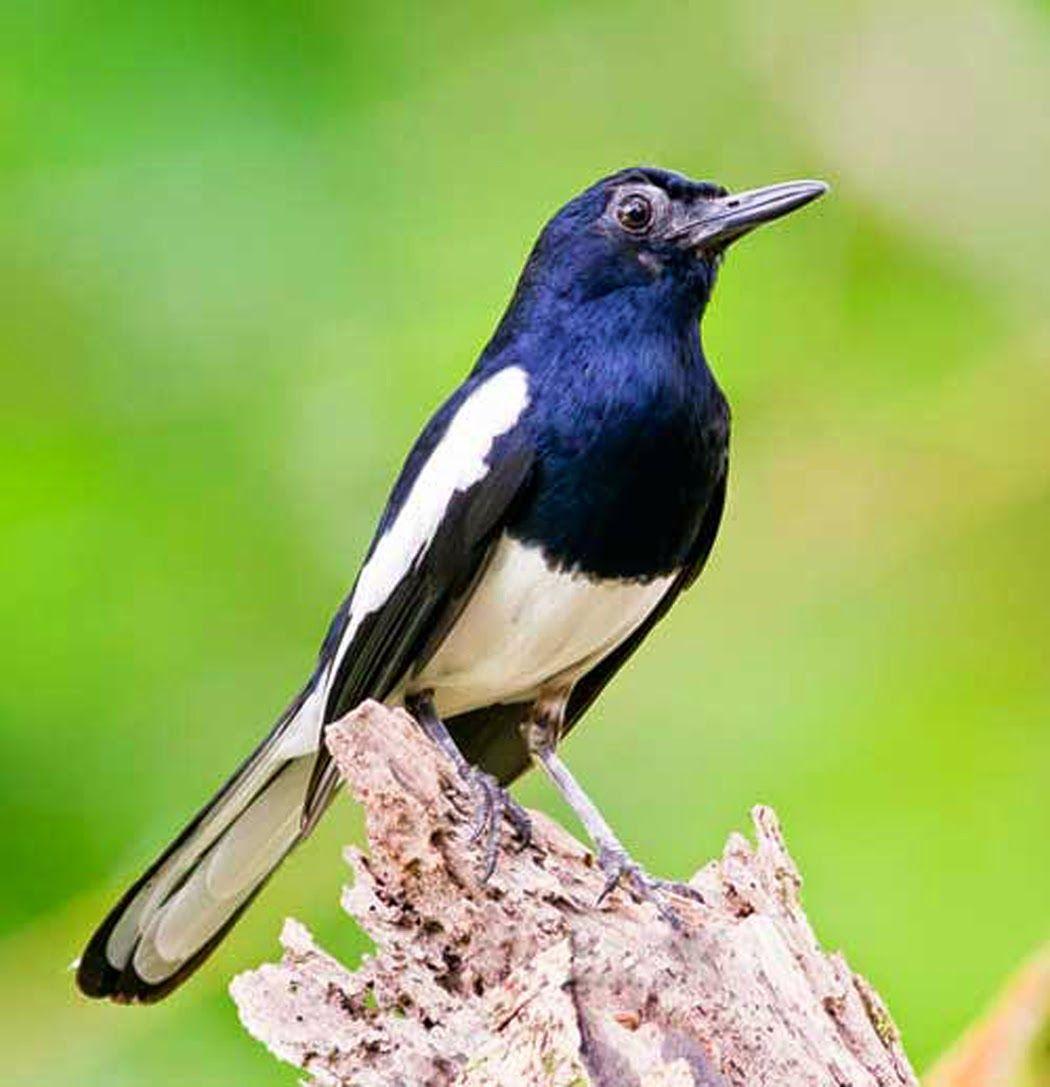 Foto Burung Kacer ɳ¥