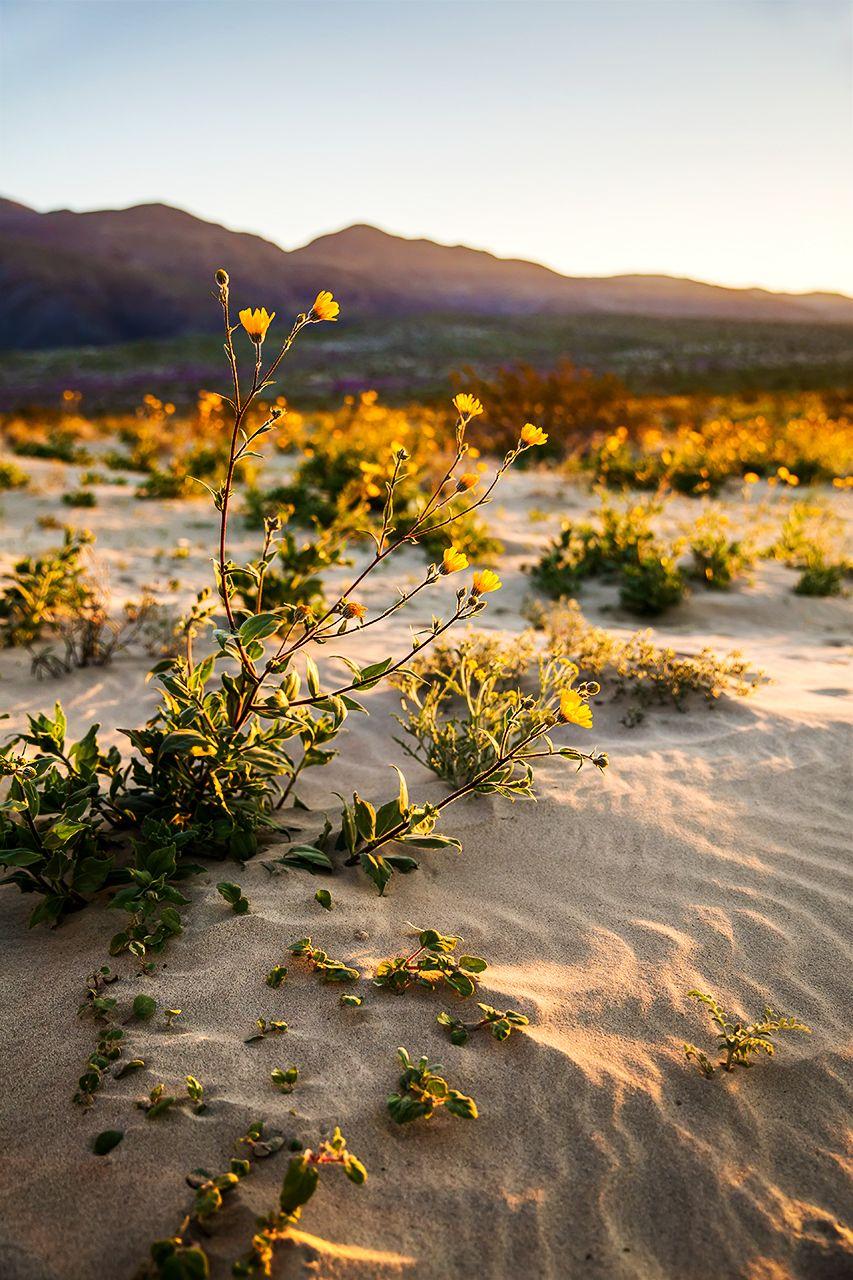 Anza-Borrego Photo  Wildflower Sunrise  Desert | Etsy