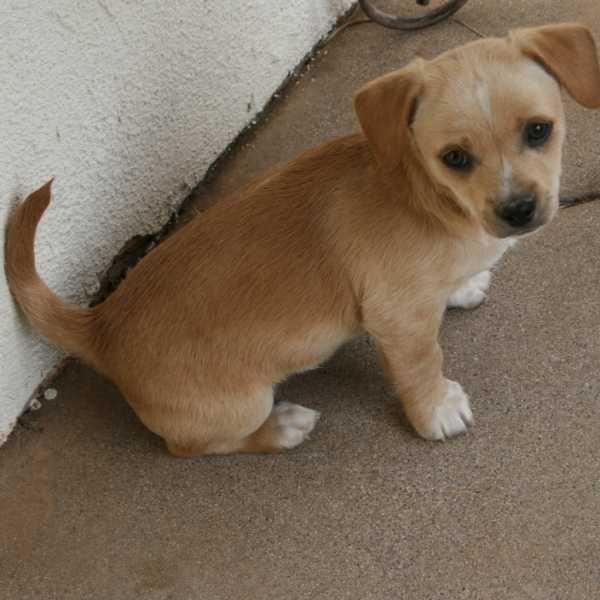 Red Chiwawa Mix Mini Doberman Pinscher Chihuahua Mix Doberman