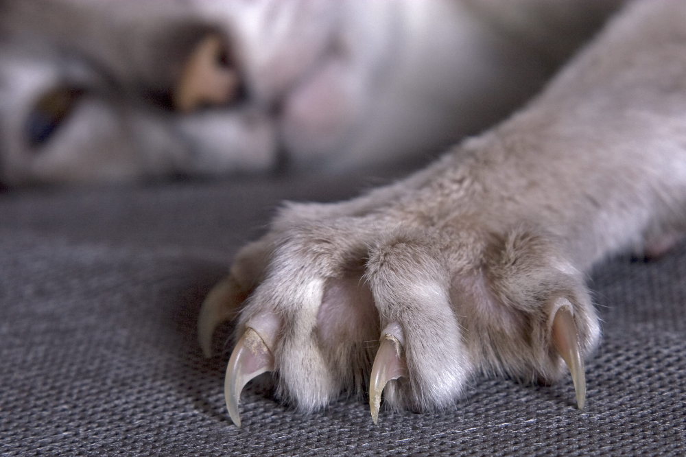 cat claws Google Search in 2020 Cat paws, Cat claws