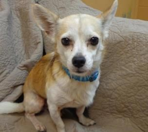 Meet Adorable 7 Year Old Chihuahua Jeremy Binkins He Is Waiting For A Loving Home And A Cuddle Buddy Come Down Animal Rescue League Dog Adoption Pets