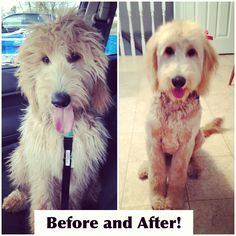 Image Result For Goldendoodle Haircut Before And After Jack