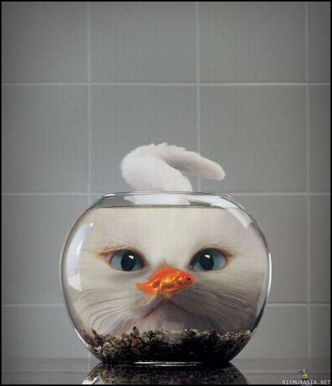 Cat...looking at fish  from behind the fish tank...the glass magnifies the cat's face...funny:):)