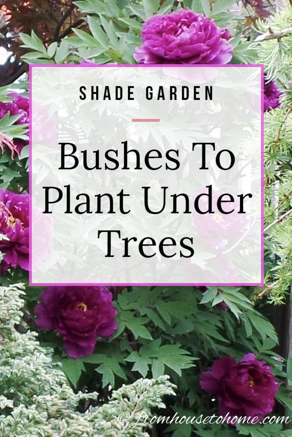 Find out which bushes to plant under trees in the shade garden in your backyard or front yard. These shrubs with beautiful flowers will help to brighten up your yard. #fromhousetohome #shrubs #gardenideas #shadegarden   #shadelovingshrubs #shadeplants