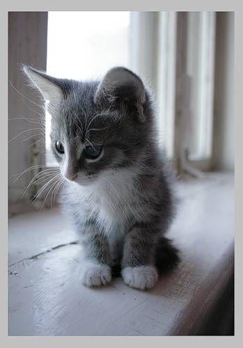 Going Grey Gracefully Grey Kitten Kittens Cutest Kittens