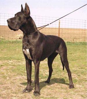Great Dane Great Dane Breeders Find A Great Dane Dog Breeder