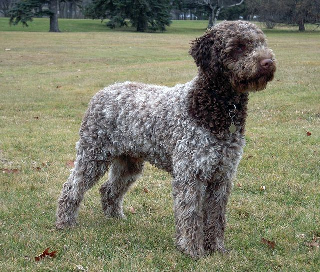 Lagotto Truffle Dogs: Truffles, Anyone? The Charming, Curly