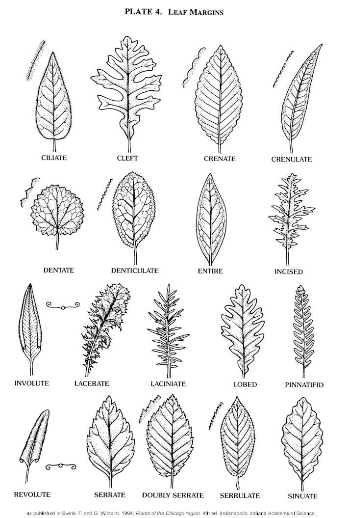 Tree Identification Flashcards Google Search Leaf Drawing Plant Drawing Flower Drawing