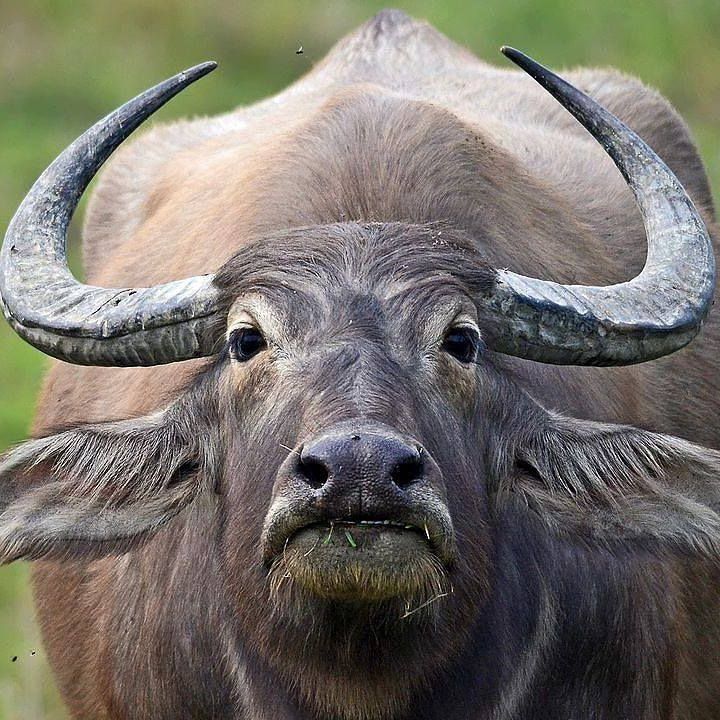 The water buffalo now what a pretty mammal