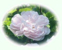 Stanwell Perpetual - Ruusuenergiatipat® - Rose Flower Essence 10 ml