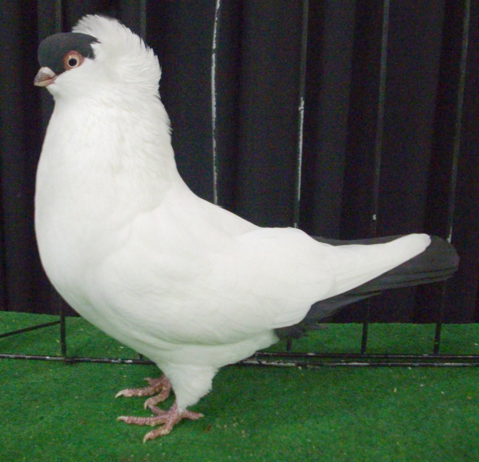 Helmet Pigeon All World Doves And Pigeons Pigeon Pictures Pigeon Birds