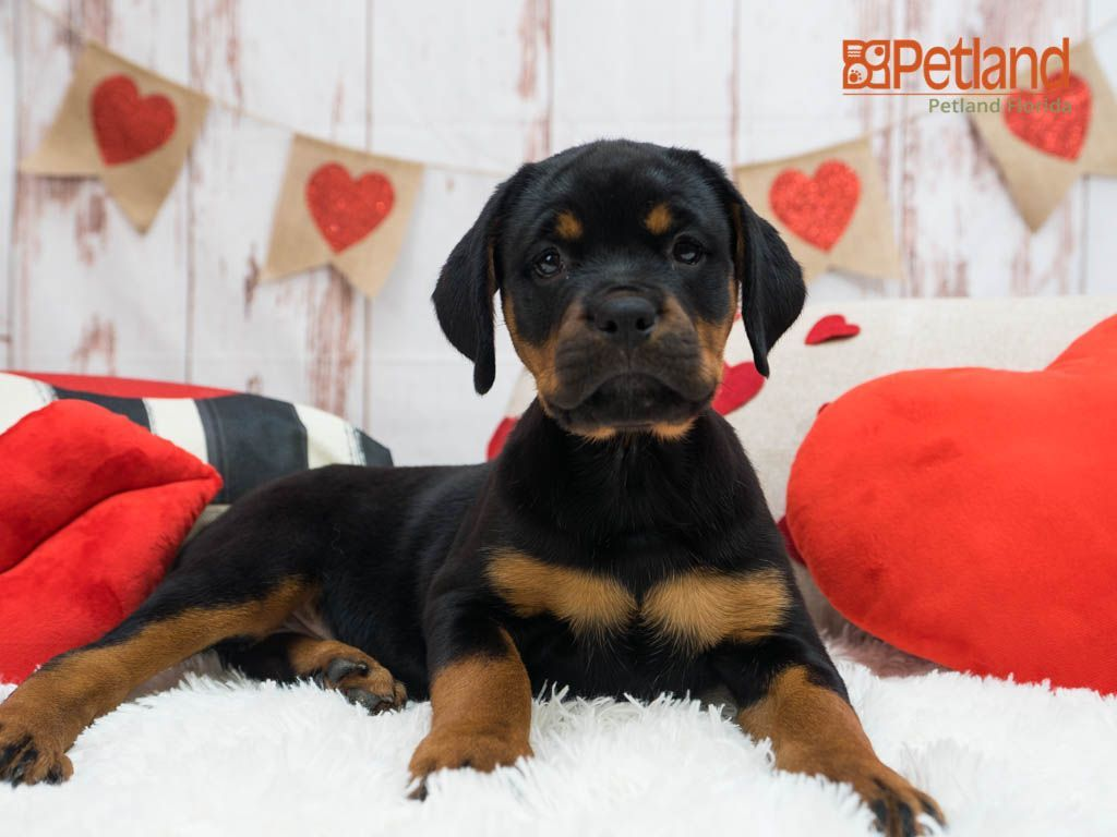 Puppies For Sale Rottweiler Puppies For Sale Rottweiler Puppies