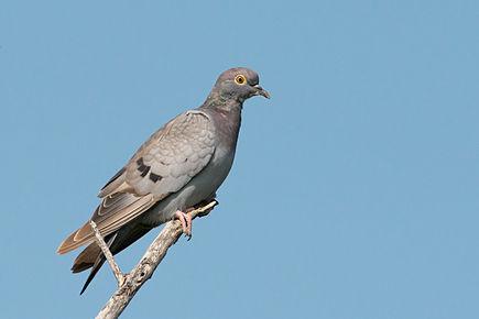 Pigeon D Eversmann Wikipedia In 2020