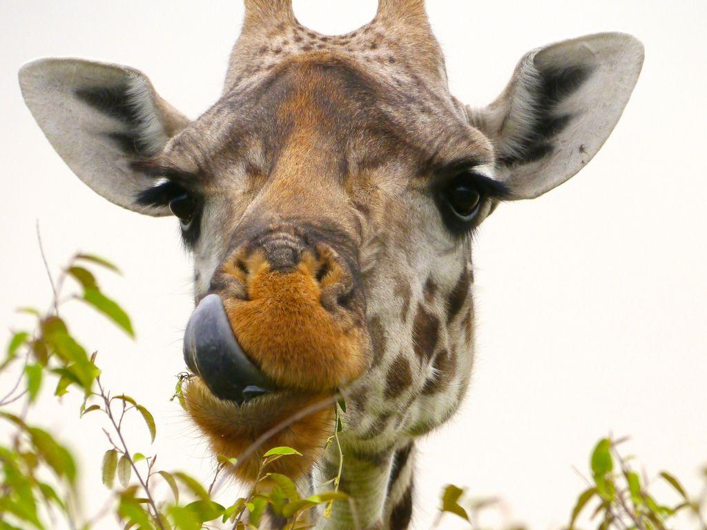 A Giraffe Amidst The Zebras