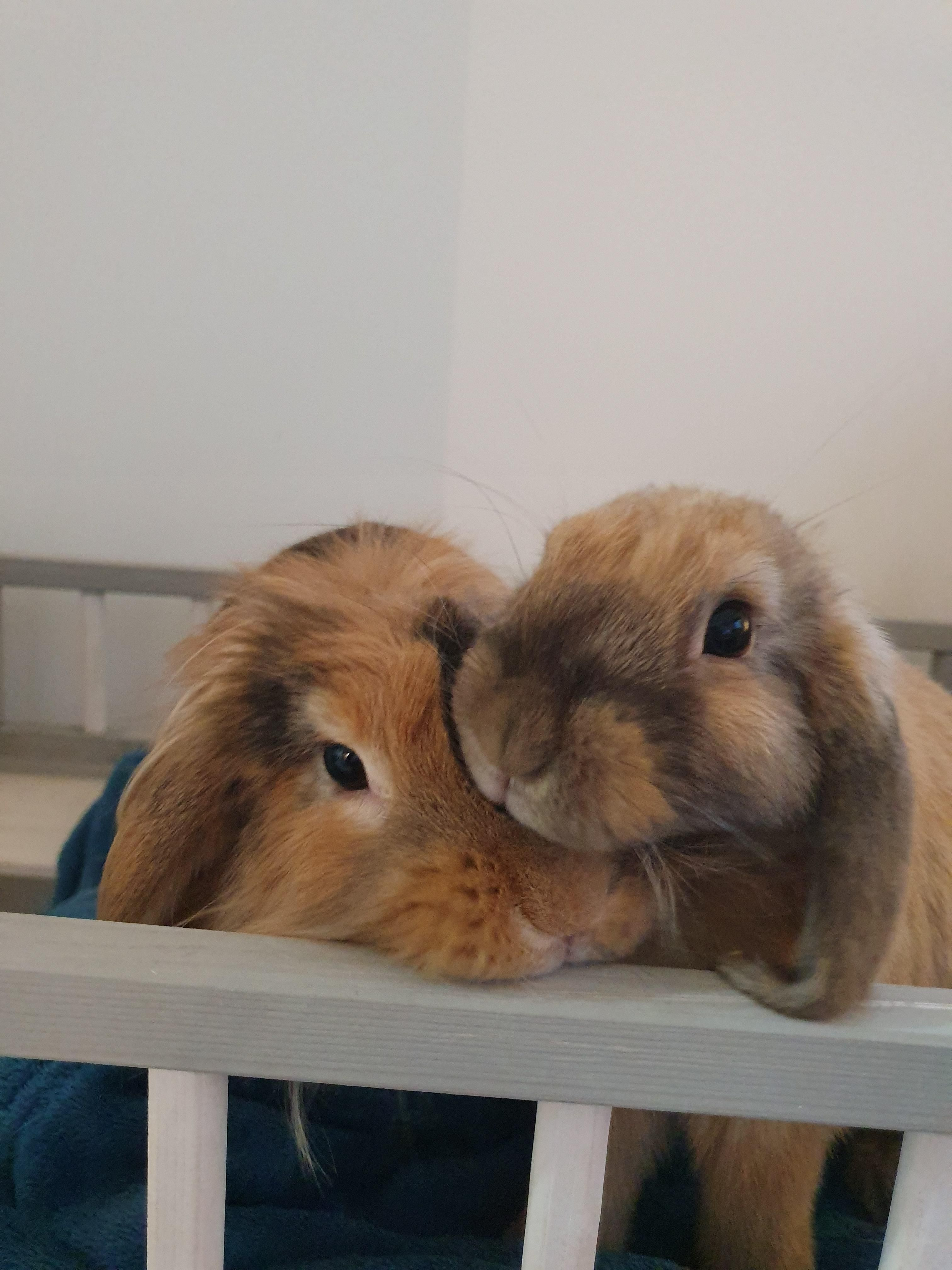 Are rabbits easy to look after with images rabbit