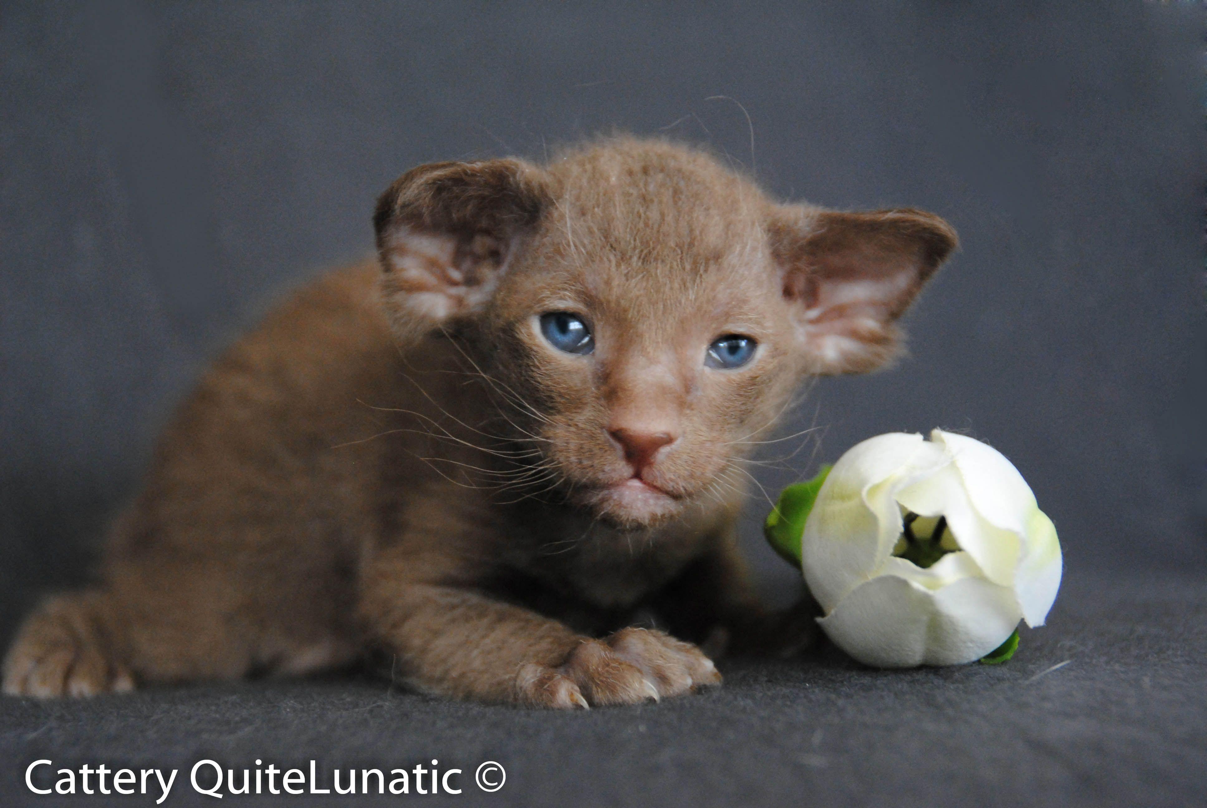 Kanzi from QuiteLunatic Peterbald kitten bruch coat