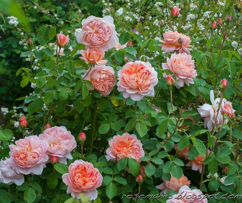 Carding Mill David Austin Rose Garden Pinterest