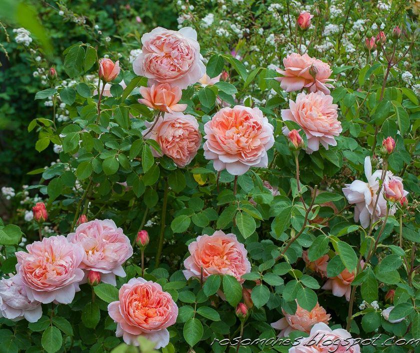 Carding Mill David Austin Rose Garden Pinterest