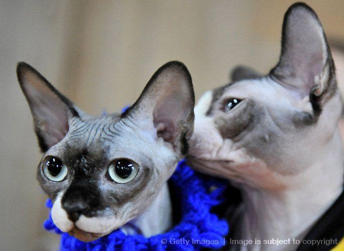 sphynx_kitten_   Cats, Hairless cat, Rex cat