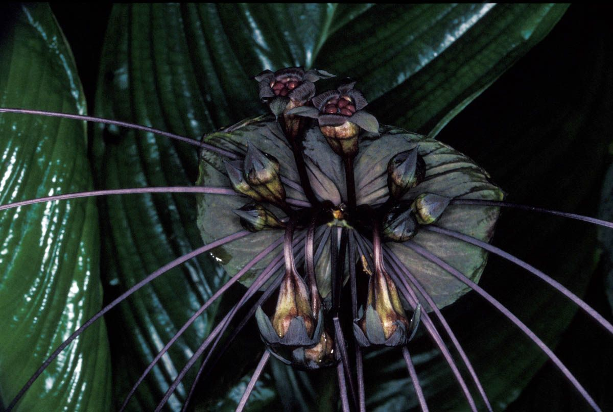 Tacca Chantrieri Commonly Known As The Bat Flower Is Found In Tropical Areas Of Australia And Is Probably One Of The Strangest And Creepiest Flowers In The