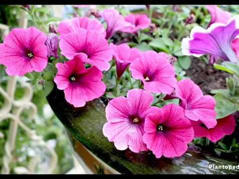 Petunia Culture Et Entretien Youtube