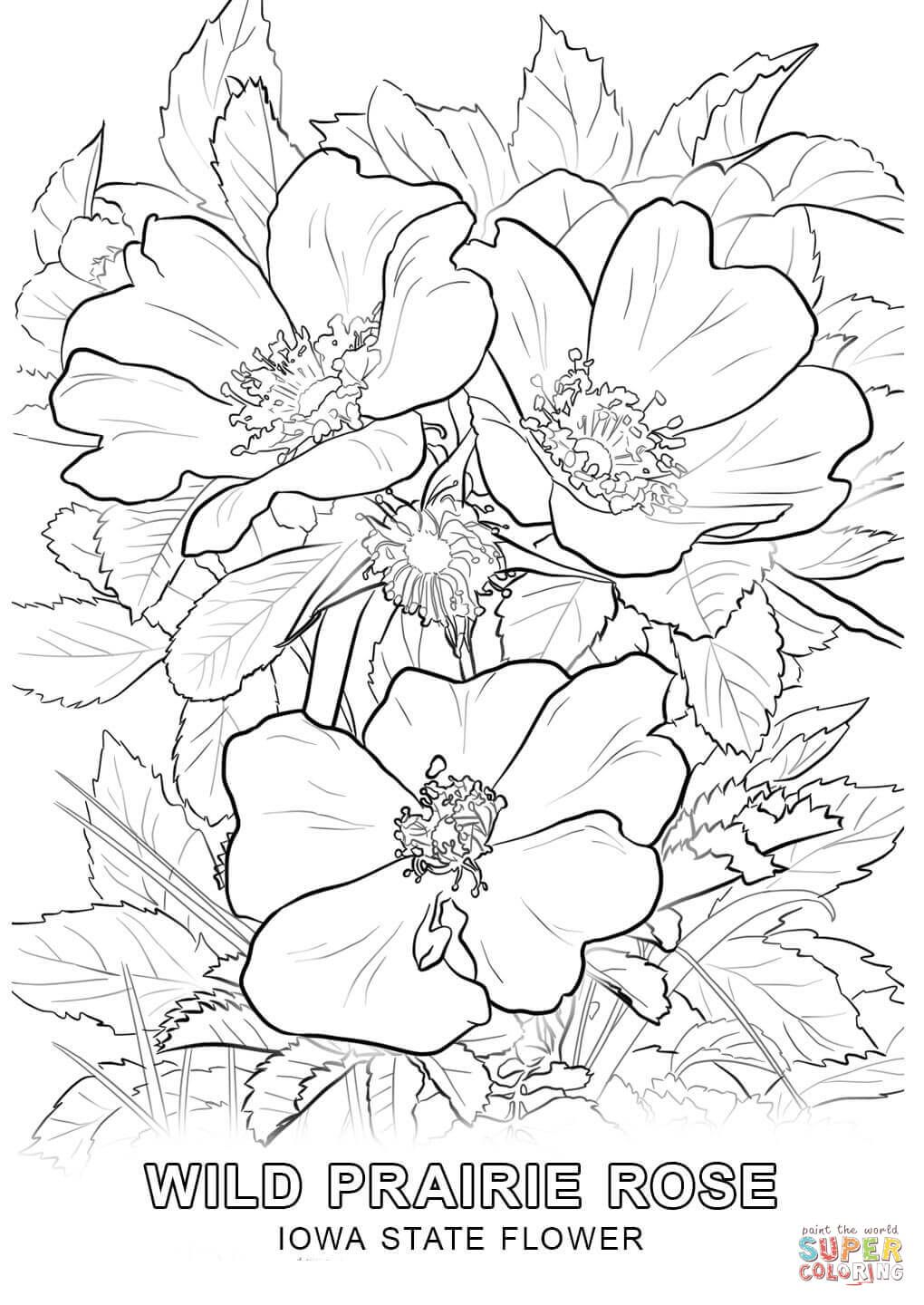 Iowa State Flower Coloring Page Free Printable Coloring Pages