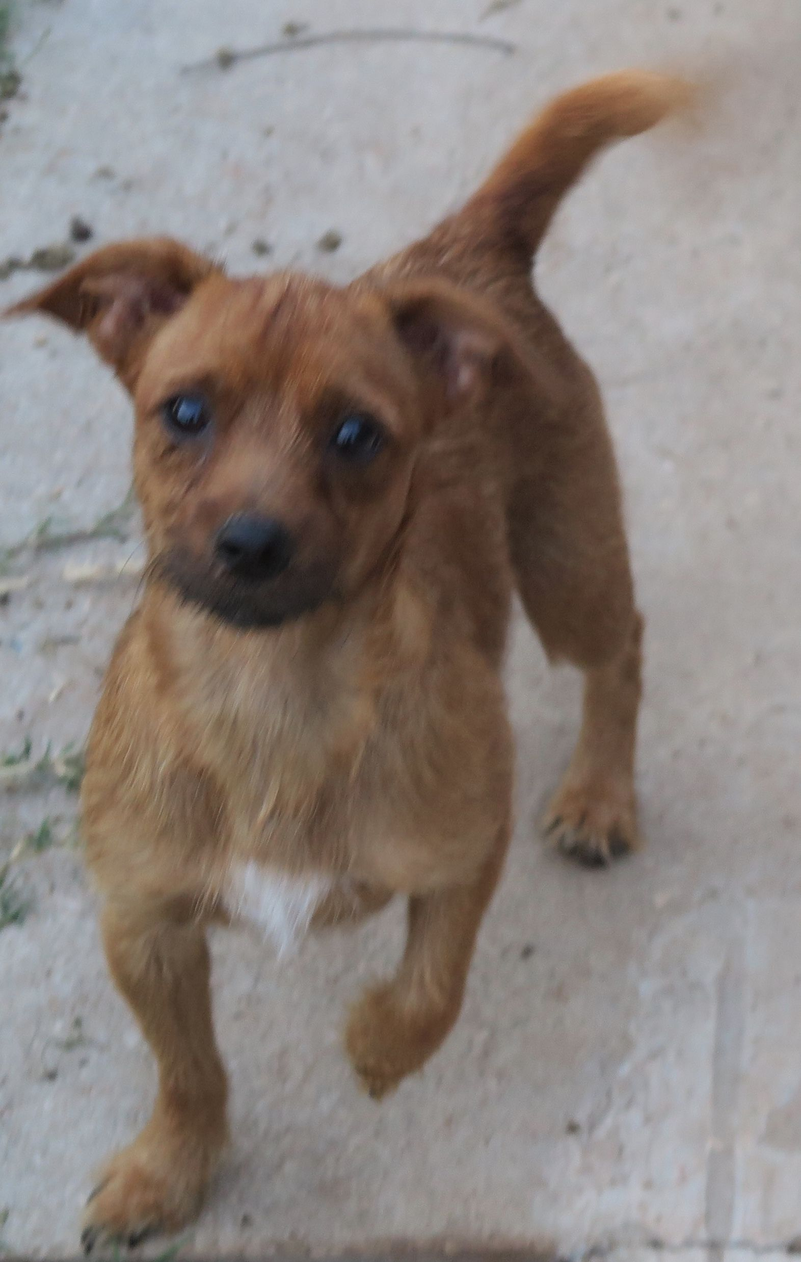 Daug dog for Adoption in Prague OK ADN on PuppyFinder